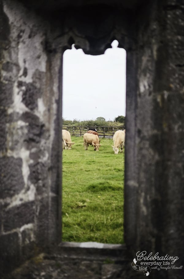 Cows at Clare Abbey, County Clare, Ireland