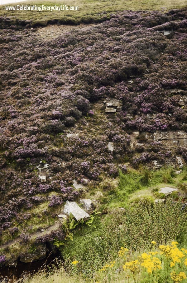 Heather on the English Moors, Celebrating Everyday Life with Jennifer Carroll