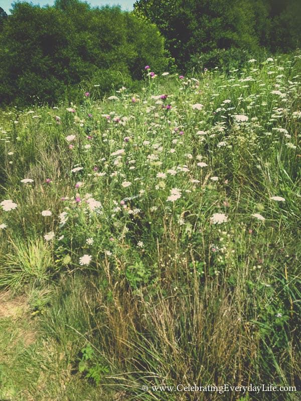 Tips for Picking Wild Flowers, Queen Anne's Lace flower, Path Photo, Picking Wild Flowers, Foraging flowers, Celebrating Everyday Life with Jennifer Carroll