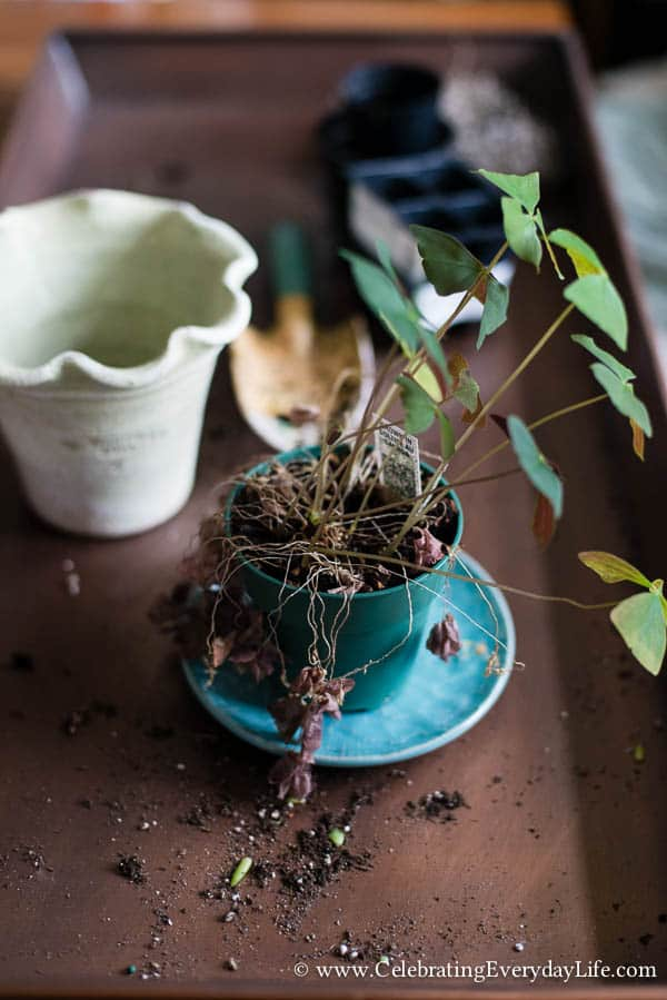 Repotting a Shamrock, Celebrating Everyday Life with Jennifer Carroll
